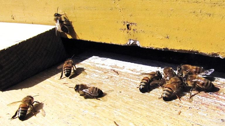 Bin som kryper vid en bikupa.