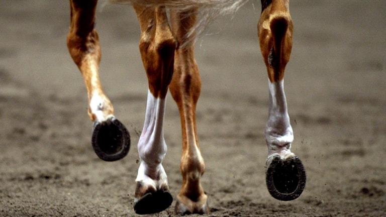 Fyra hästhovar i rörelse. Foto: Scanpix.