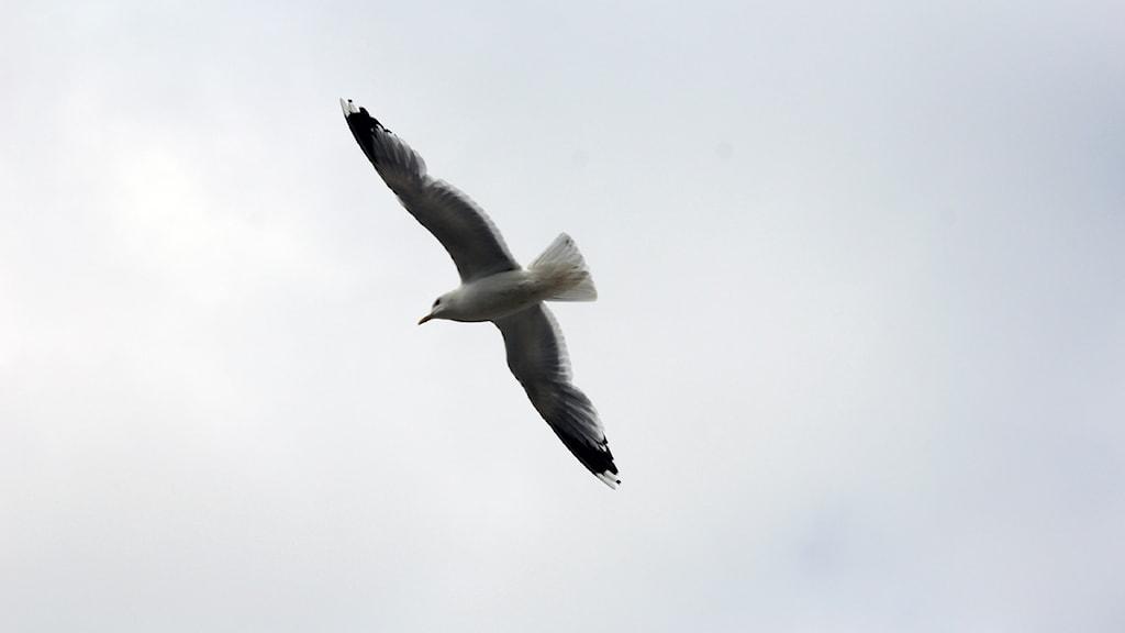 En fiskmås som flyger. Foto: Stina Linde/Sveriges Radio.