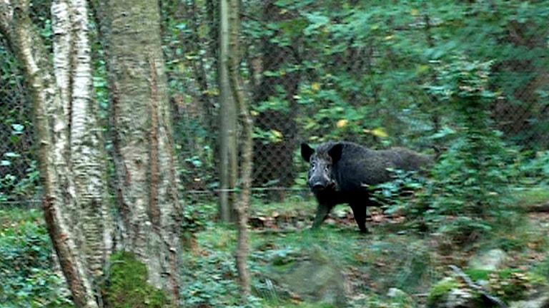 Ett vildsvin står i skogen. Foto: Erland Vinberg/TT