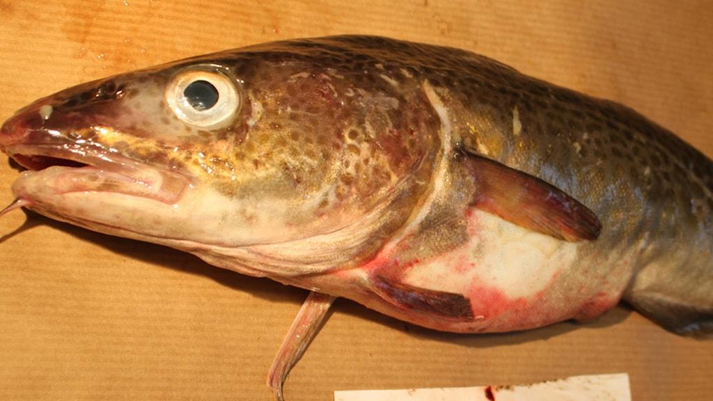 En fisk som har sår på buken.