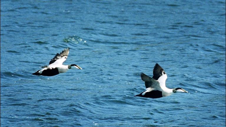 Två ejderhanar som flyger över vattnet. Foto: Jessica Gow/TT