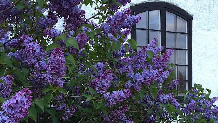 Blommande syrener vid ett fönster.