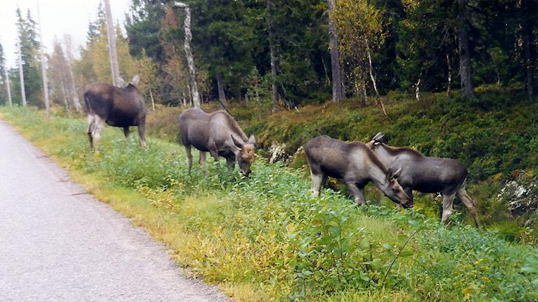 Bilden är tagen i Sälen, på Gubbmyren, där Kjell-Åke Persson var endast 20 meter från älgarna. Foto: Kjell-Åke Persson.