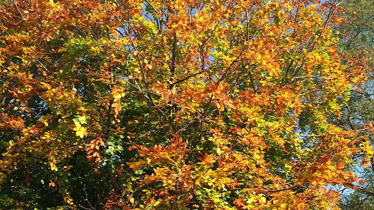 Ett träd med röda och gula höstlöv. Foto: Stina Linde/Sveriges Radio