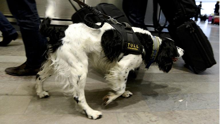 Narkotikahund luktar på väska. Foto:Pontus Lundahl/TT