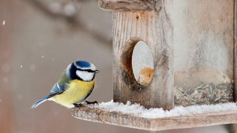 En blåmes vid en fågelholk. Foto: TT