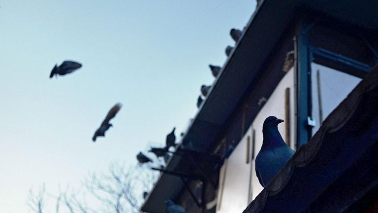 Duvor på tak. Foto: TT