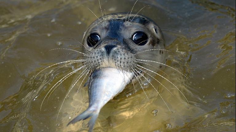 Säl med fisk i munnen. Foto: Daniel Reinhardt/TT