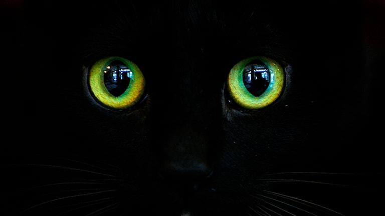 En svart katt med gulgröna ögon. Foto: Vadim Ghirda/TT