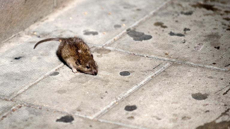En råtta springer på ett smutsigt golv. Foto: Maja Suslin/TT