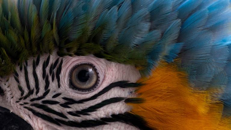 Ett papegojansikte på nära håll. Foto: Ariana Cubilos/TT