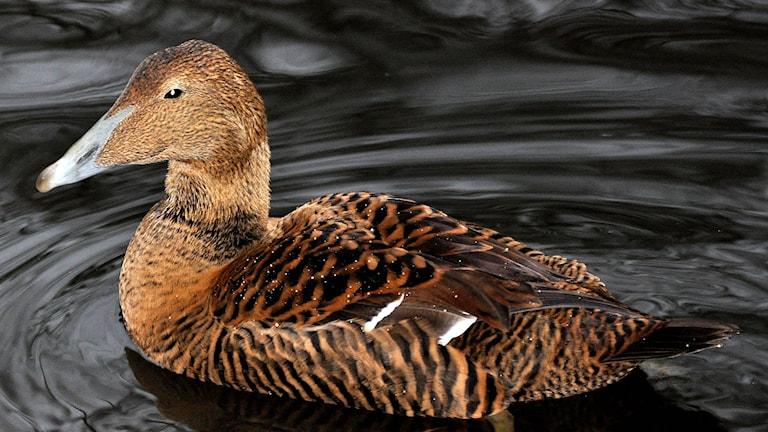 En sjöfågel simmar i blankt vatten. Fotograf: Martin Olofsson/Flickr