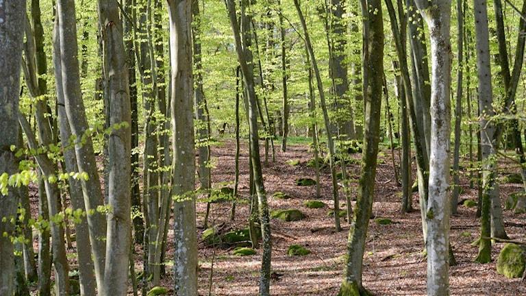 Bokskog med trädstamamr och löv.  Foto: Patrik Franke/Sveriges Radio
