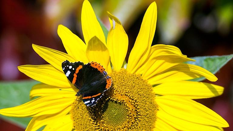 En fjäril sitter på en gul sommarblomma.Foto: Patrik Pleul/TT