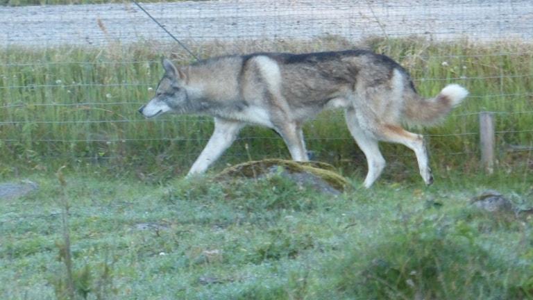 Djuret som dödade tio ankor i Fågelmara visade sig vara hund och inte varg. Foto: Bertil Larsson
