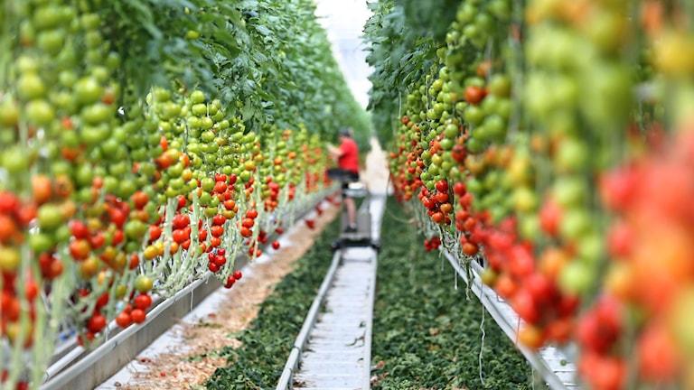 Tomatodling i ett växthus. Foto:Jan Voitas/TT