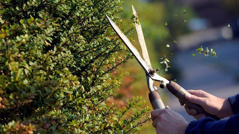 En person håller i en häcksax och ska precis klippa av en gren på en häck. Fredrik Sandberg / TT