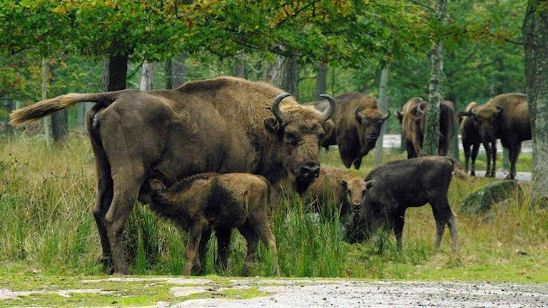 Visenter på Eriksbergs viltpark. Foto: Åsa Olsson/Eriksberg.