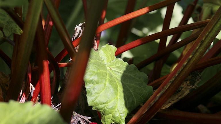 Närbild på rabarber. I bild syns bladen och stammen. Foto: Helena Landstedt/TT
