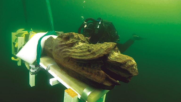 Gribshunden bärgas. Undervattensbild Foto:Ingemar Lundgren, Ocean Discovery.