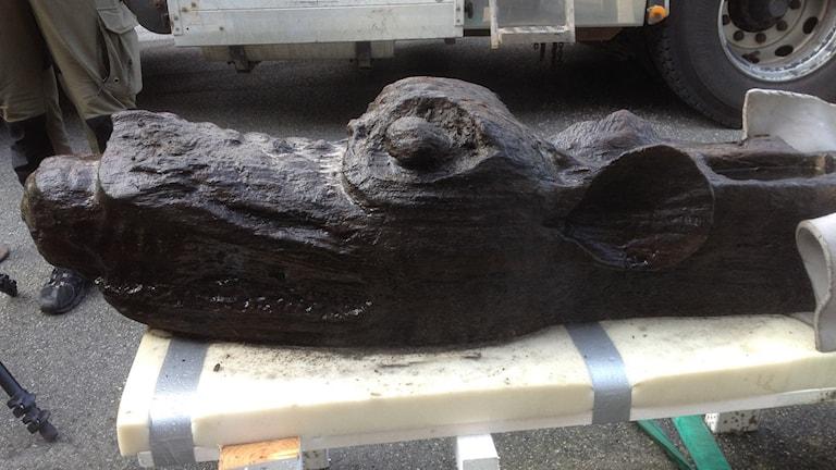 Gribshunden bärgas, på land. Foto:Blekinge Museum