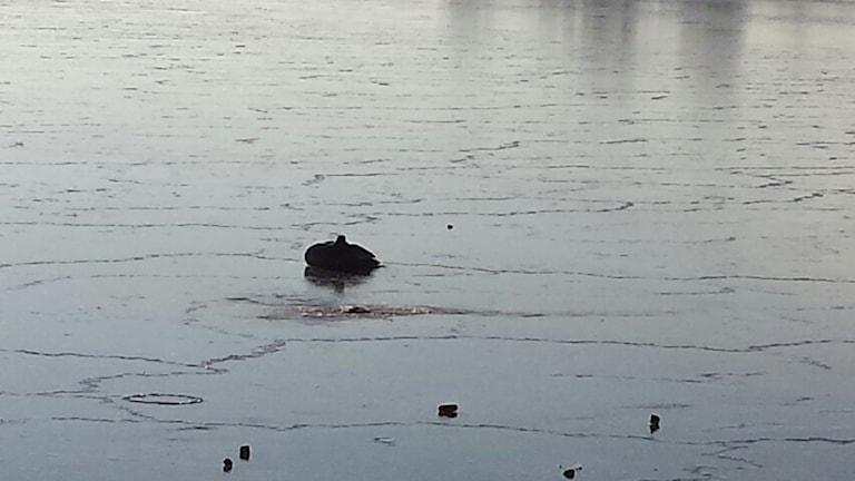 En svan som sitter fast i isen en bit ut. Foto: Stig Werner.