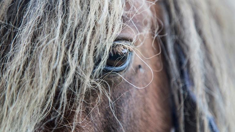 En närbild på ett hästansikte. Foto: Martina Holmberg/TT