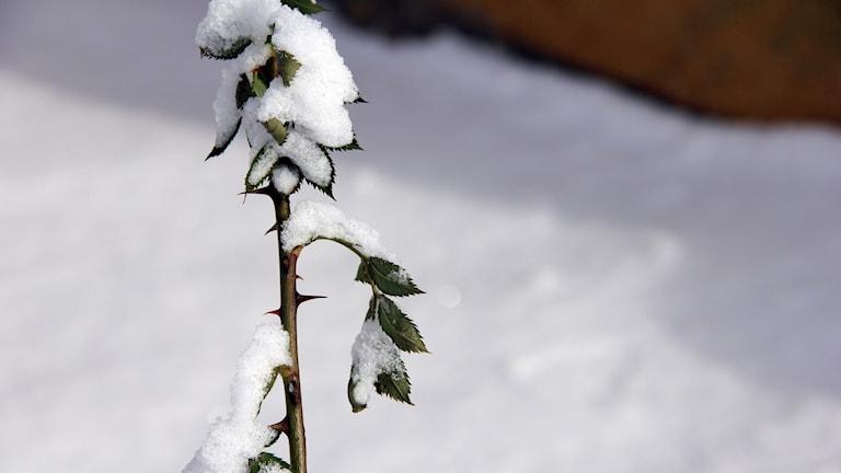 Snö på en ros. Foto: Stina Linde/Sveriges Radio.
