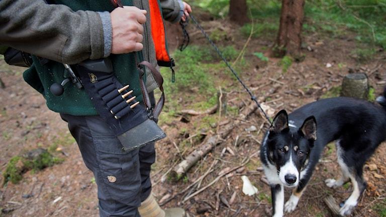 En jägare och hans jakthund står i skogen. Foto: Jessica Gow/TT.