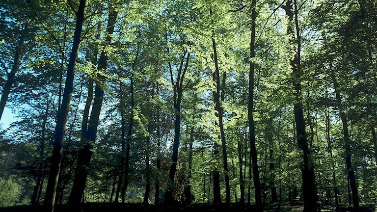 En precis utslagen bokskogsdunge och solen silar mellan de ljusgröna nyutslagna löven.