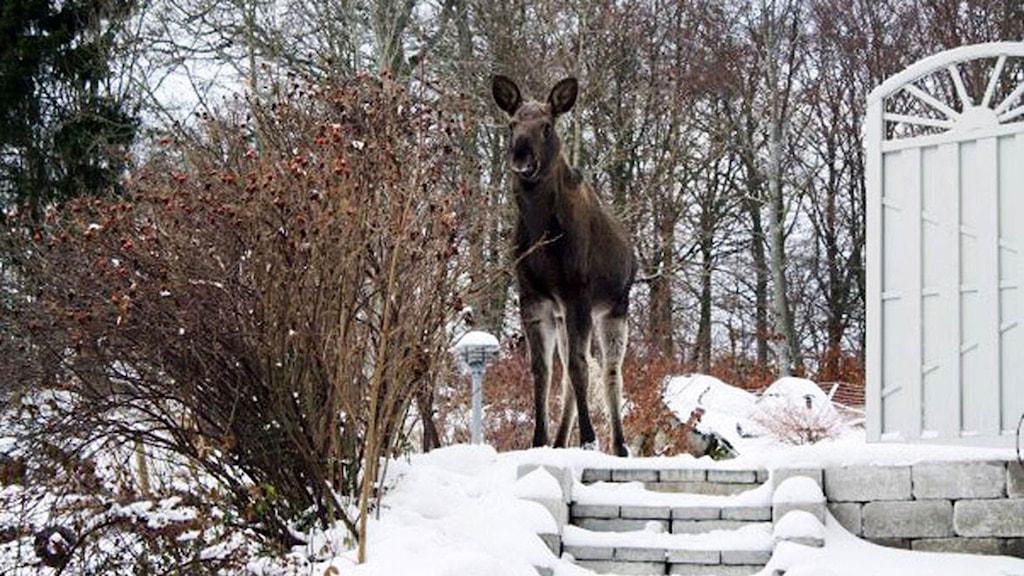 Älgen Fabbe i en villaträdgård i Rödeby.