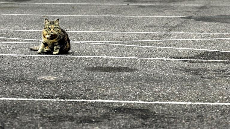 En katt på en väg. Foto: Tomas Oneborg/TT