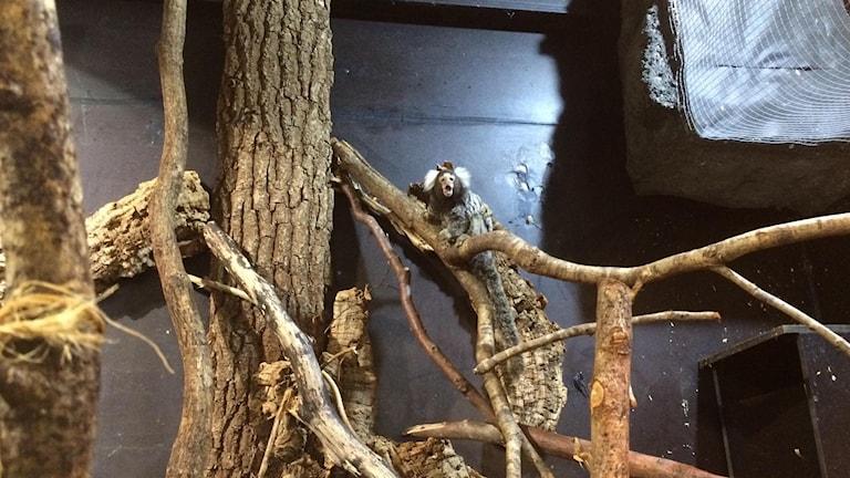 Silkesapa sitter i ett klätterträd.