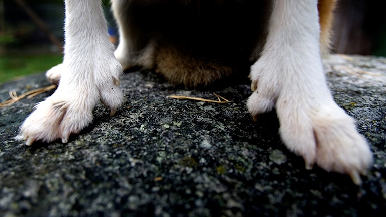 En hunds tassar