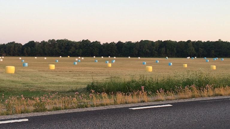 Massor med gula och blå höbalar på fält.