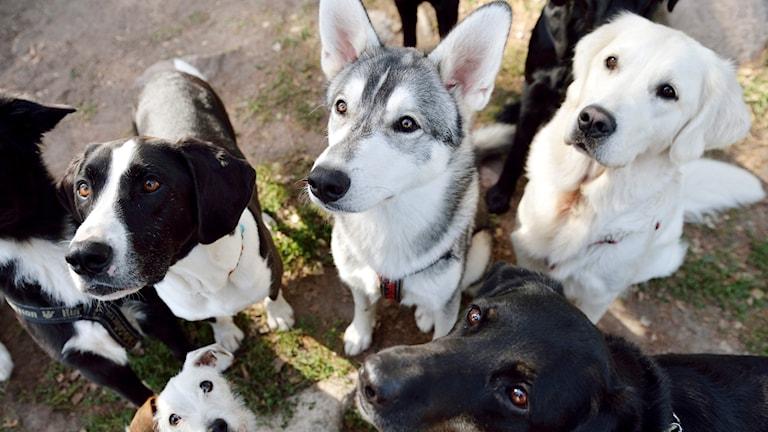 Hundar som tittar upp.
