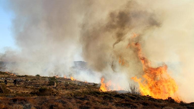 Stora lågor syns vid en gräsbrand.