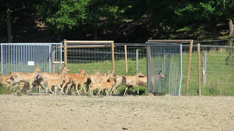 En flock hjortar springer i ett hägn.