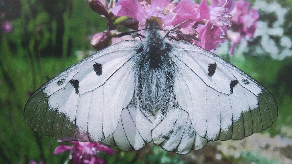 vit fjäril med två svarta prickar på var vinge