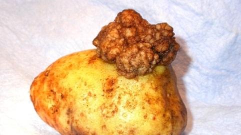 En potatis med en knöl på.