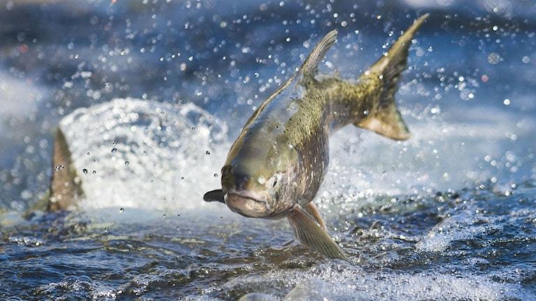 En lax som hoppar i vattnet