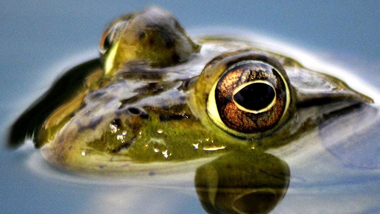 En groda som kikar upp ovanför vattenytan.