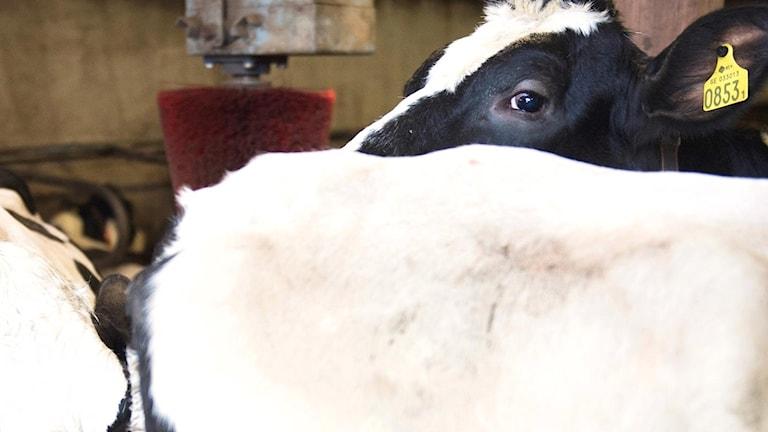 Flera svartvita mjölkkor i ett bås.