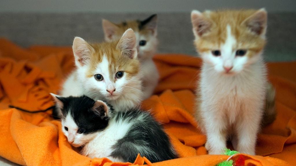 sommarkatt, katt, husdjur