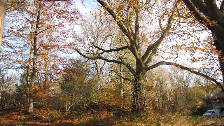 En stor ek där nästan alla löv trillat av.
