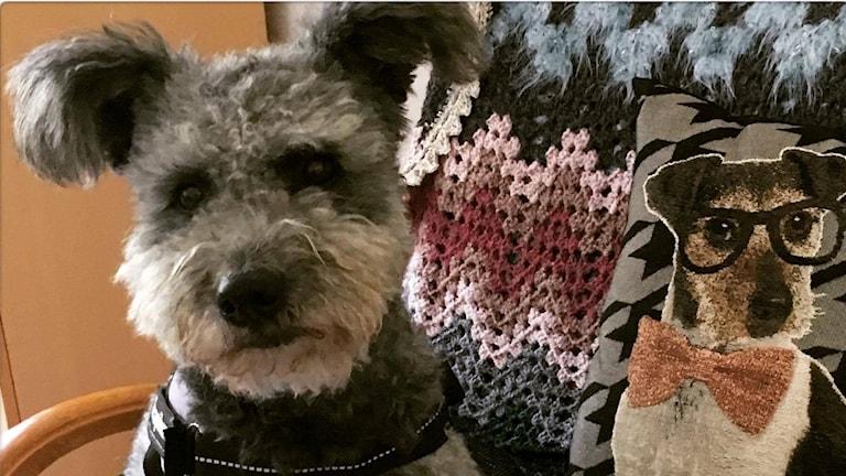 En hund sitter på en fåtölj