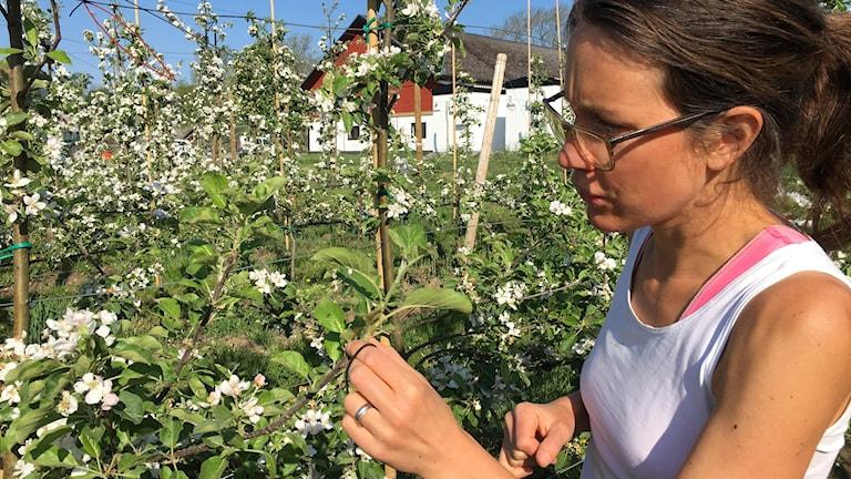 Märta Johansson, äppelodlare i Ramdala utanför Karlskrona.
