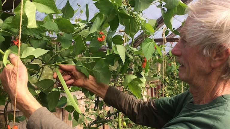 I Tassemarken odlas ekologiskt.