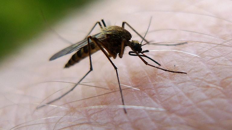 En mygga som sitter på människohud.